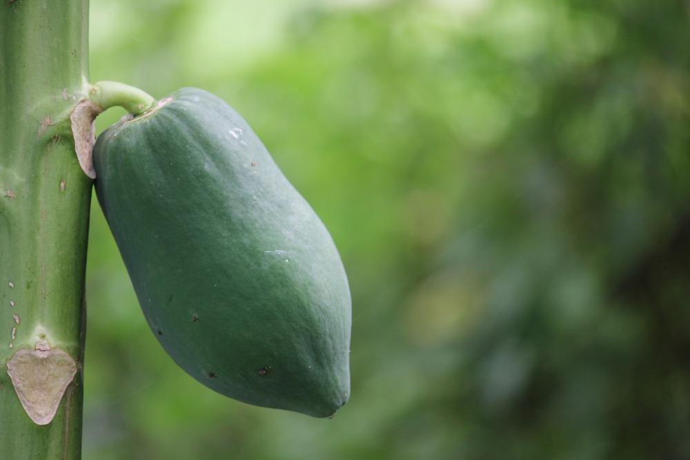 papaya-3024330_1920